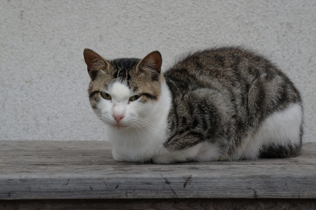 Gato gris y blanco en Manabeshima, Japón