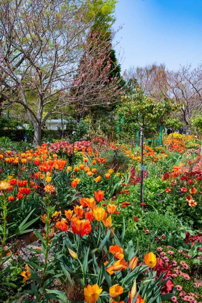 Tulipanes en contraposición de la hierba, en Hamamatsu