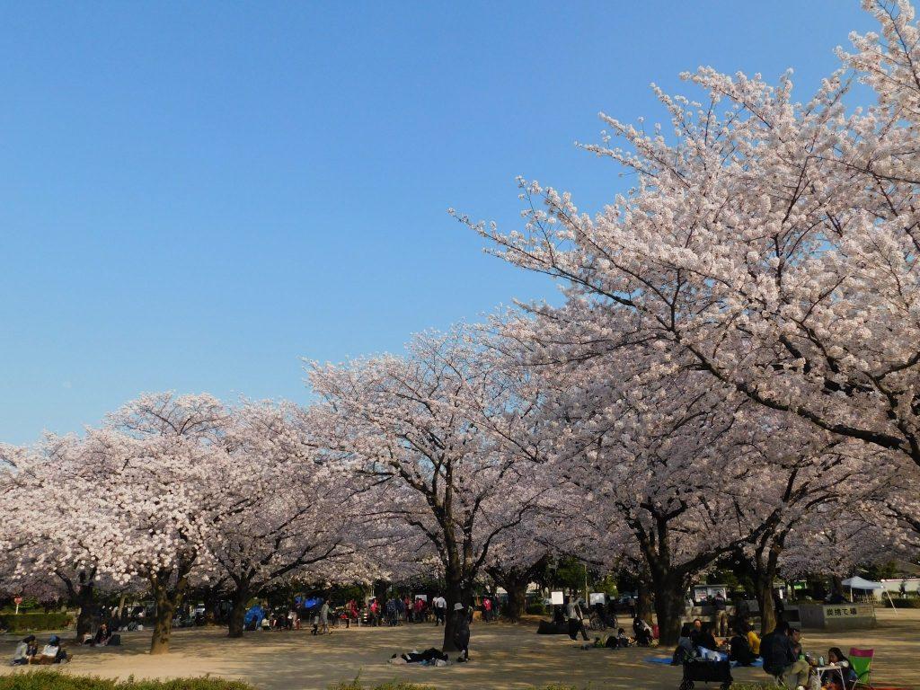 Kirschblüte in Tokio: Kirschblütenfest im Kiba Park in Koto-ku.