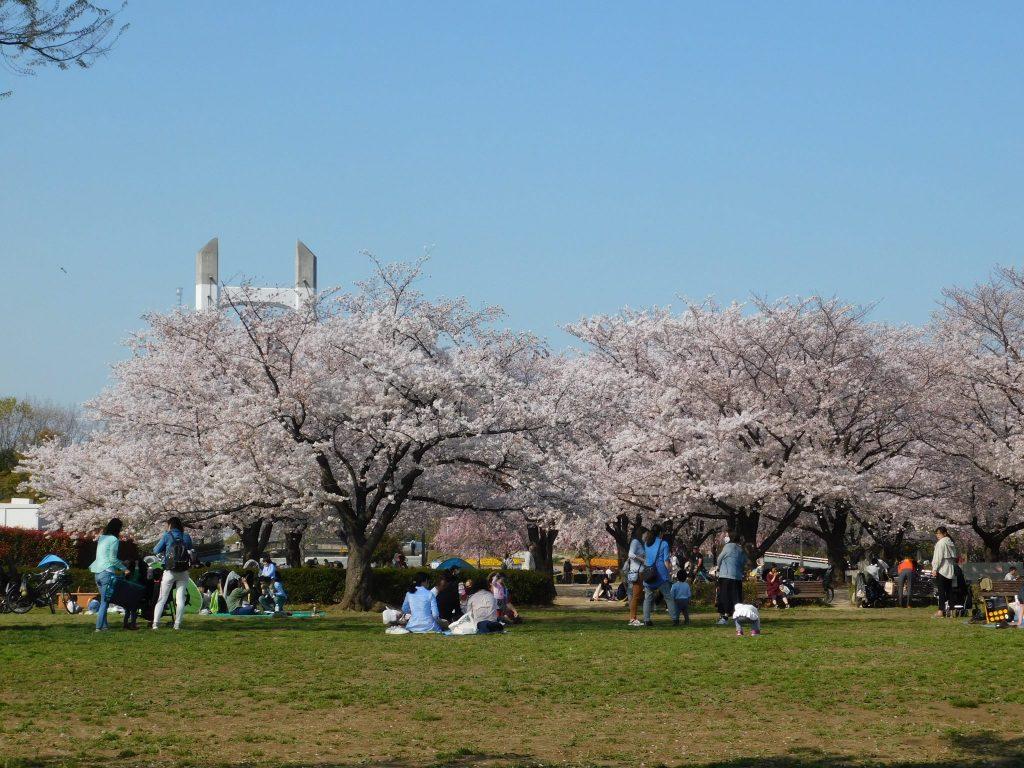 Kirschblütenbäume im Kiba Park.