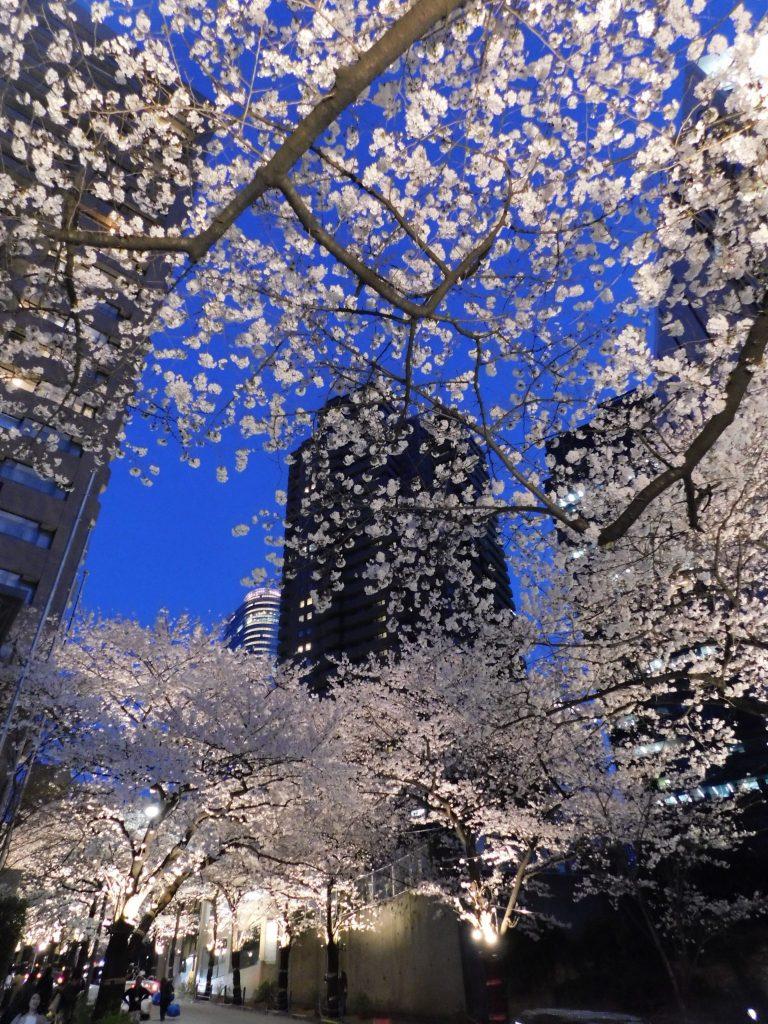 Kirschblüten am Abend in den Roppongi Ark Hills.