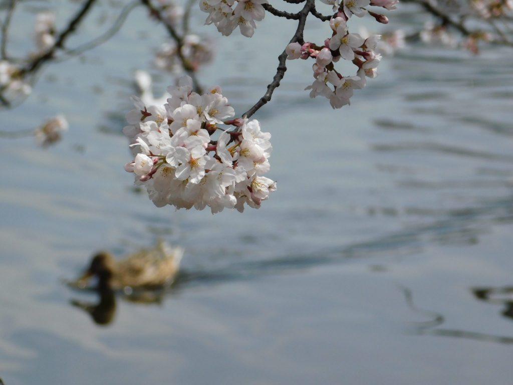 Kirschblüten in Ueno, Tokio.
