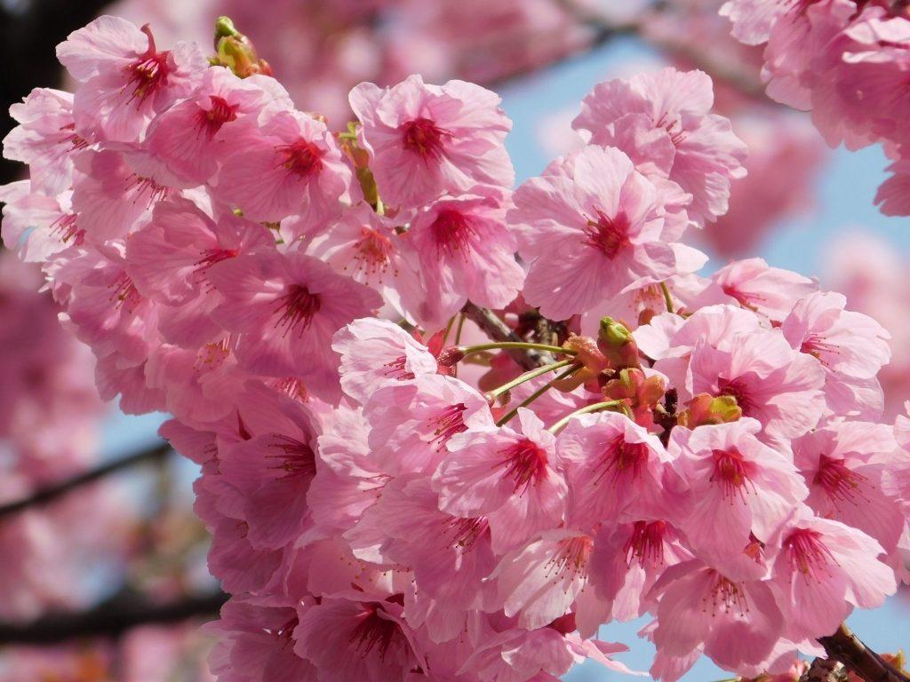 Kirschblüte in Tokio: Die rosane Blütenpracht.