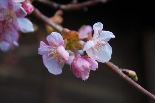 Kirschblüte im Schrein