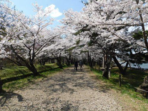 Eine Allee aus Kirschblüten.