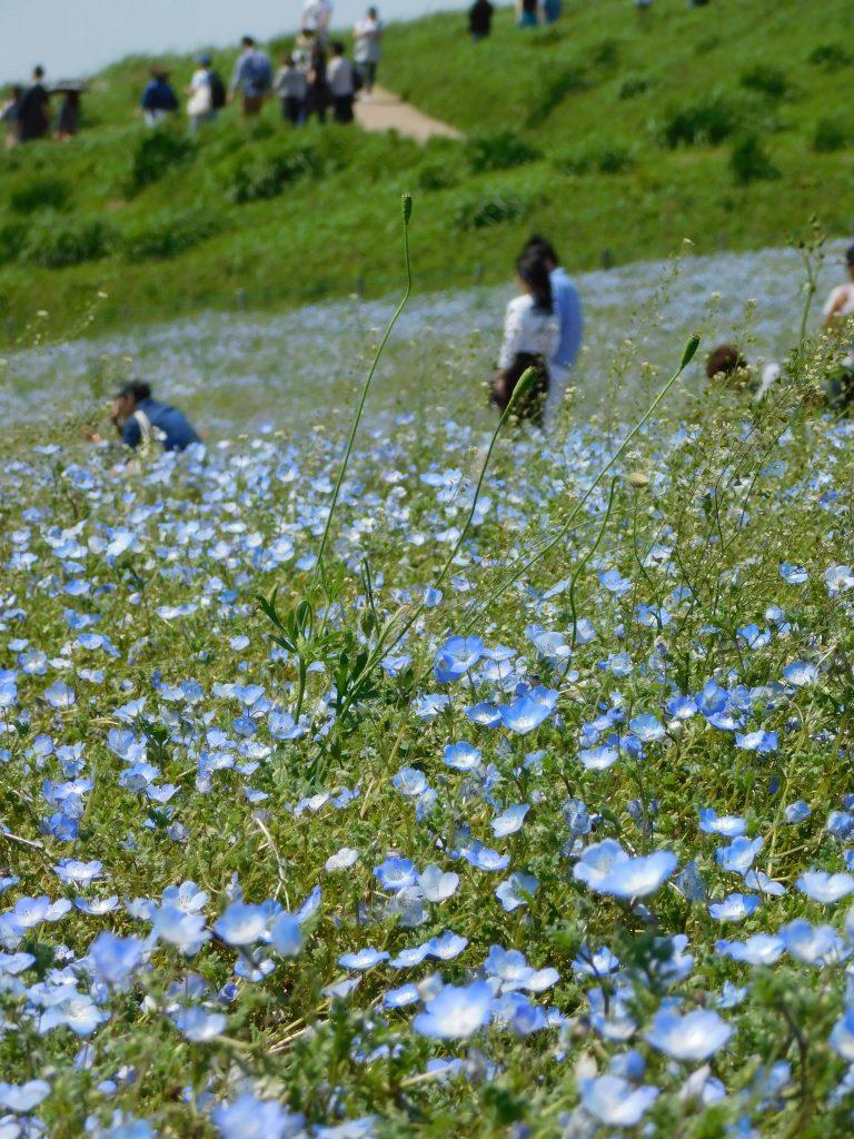 Nemophila, Hainblumen im Hitachi Seaside Park, Präfektur Ibaraki, Japan.
