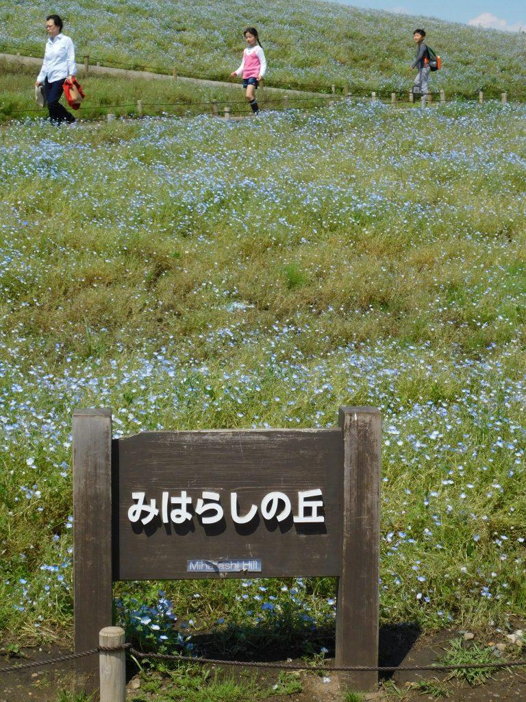 Die Nemophila befinden sich im Miharashi Bereich.
