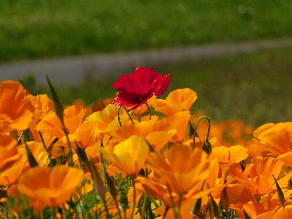 Es gibt eine Vielzahl von Blumenarten, auch Mohnblumen.