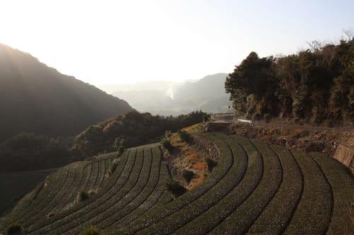 Teefelder von Higashisonogi im Sonnenlicht.