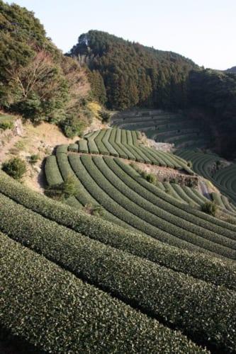 Die Terrassen der Teefelder von Higashisonogi.