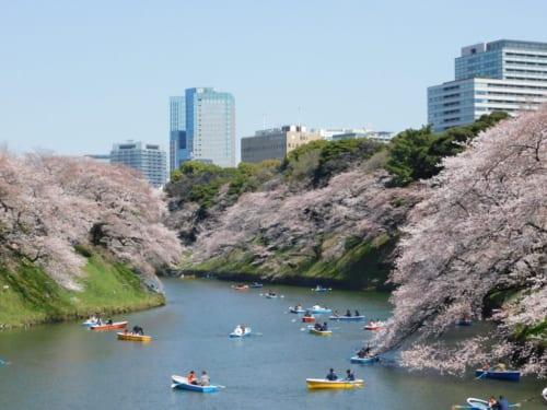 Hanami in Tokio, im Park Chidorigafuchi.