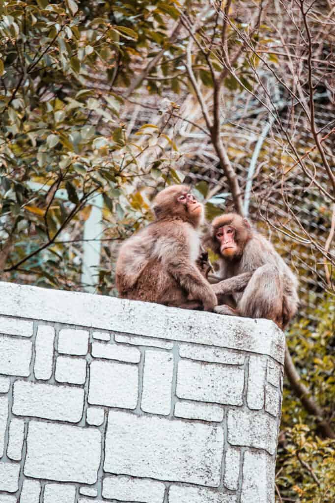 Affen im Mino Park, Osaka, Japan.