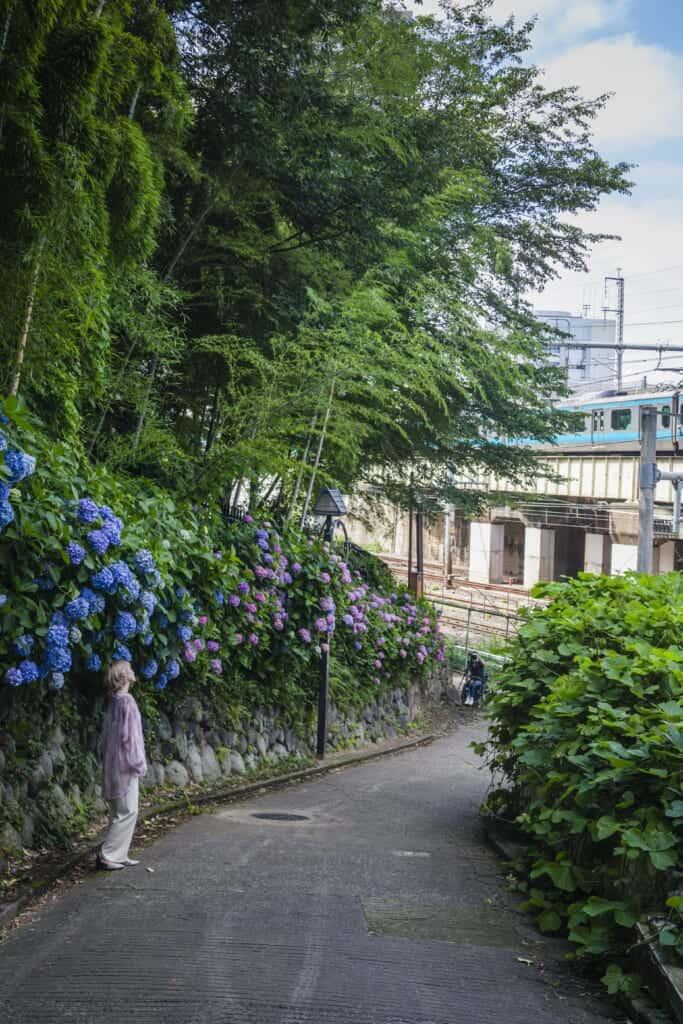 Hortensien im Asukayama Park in Tokio, Japan.