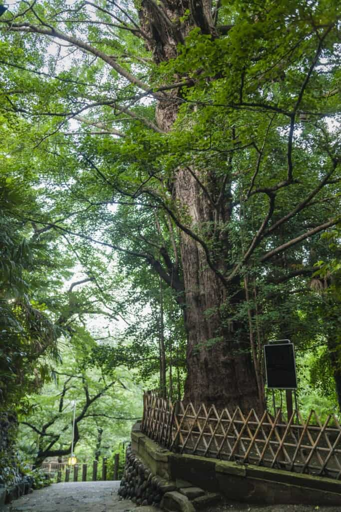 Ginkgo Baum im Otonashi Shinsui Park in Tokio, Japan.