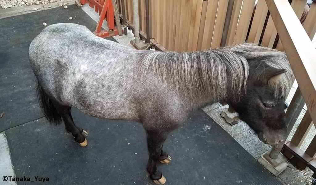 Das Pony Akari am Kanda Myojin Schrein, Pferde in Japan.
