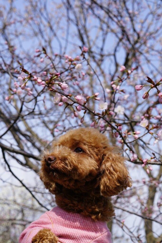 Der Toy-Pudel ist eine beliebte Hunderasse in Japan.