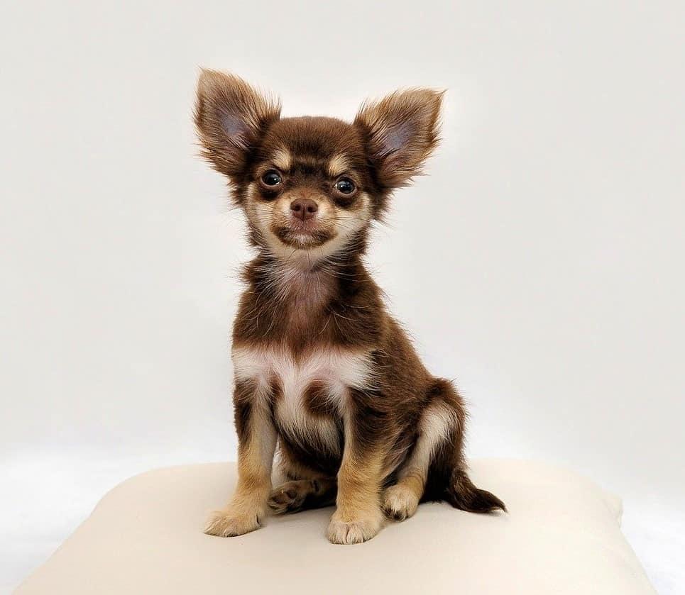 Chihuhuas gehören auch zu beliebten japanischen Hunden.