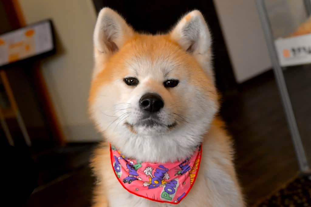 Japanische Hunde: Shiba, Akita und Co. Wer ist das beliebteste Haustier?