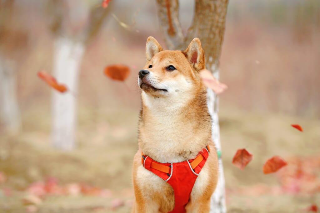 Der Shiba Inu ist eine beliebte japanische Hunderasse.