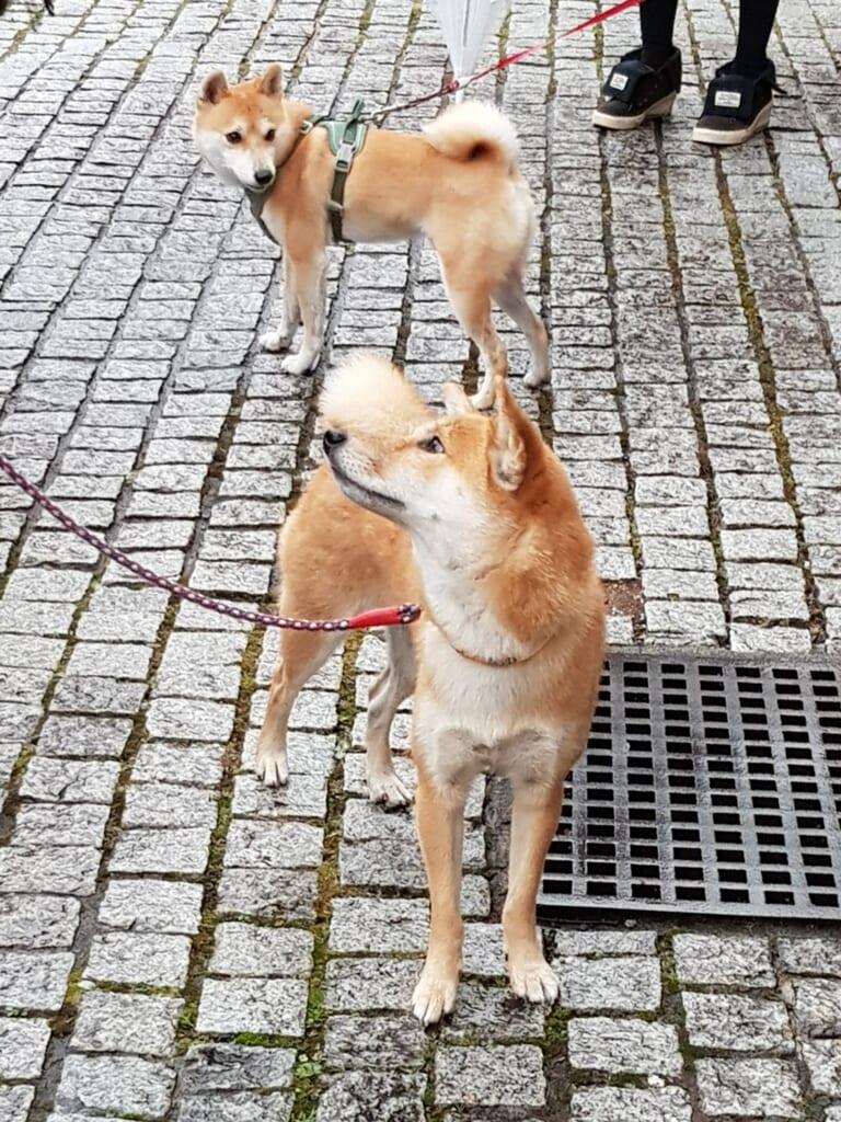 Japanische Hunde beim Gassi gehen.