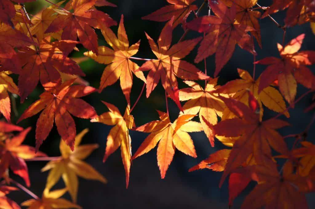 Ahornblätter im Garten vom Adachi Kunstmuseum.