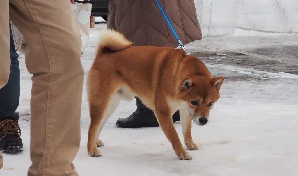 Ein Shiba Inu auf dem Innuko Schneefestival in Yuzawa.