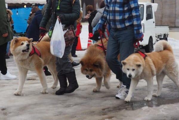 Drei Akita gehen spazieren auf dem Schneefestival in Yuzawa.