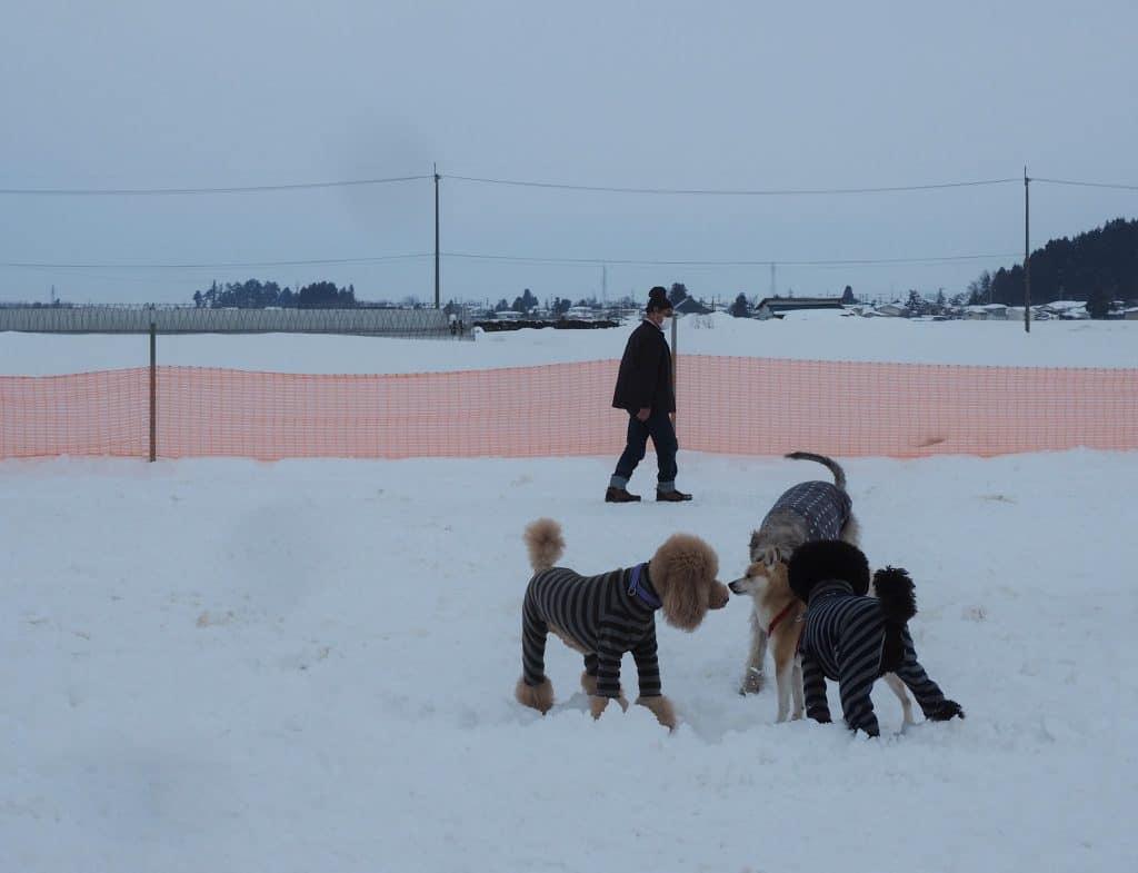 Hunde spielen im Hundepark auf dem Inukko Schneefestival in der Präfektur Akita.