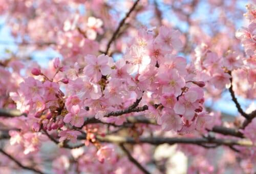 Frühe Kirschblüten in Japan.
