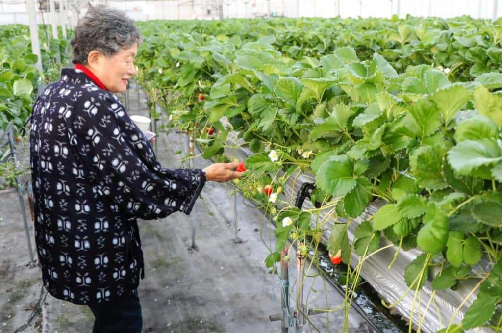 Das Pflücken der Erdbeeren während des Bauernhofaufenthalts im Shimanami-no-Chisana-ie.