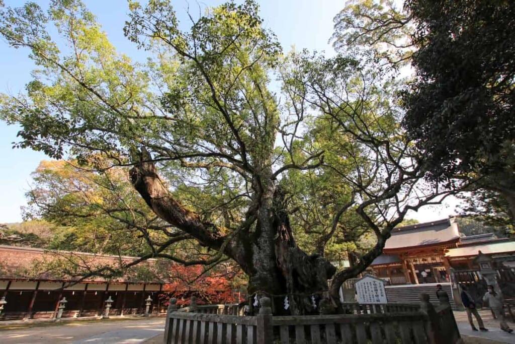 Die verworren Stämme des heiligen Baumes am Oyamazumi-Schrein.