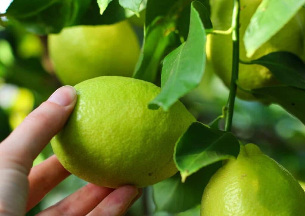 Grüne Zitronen.