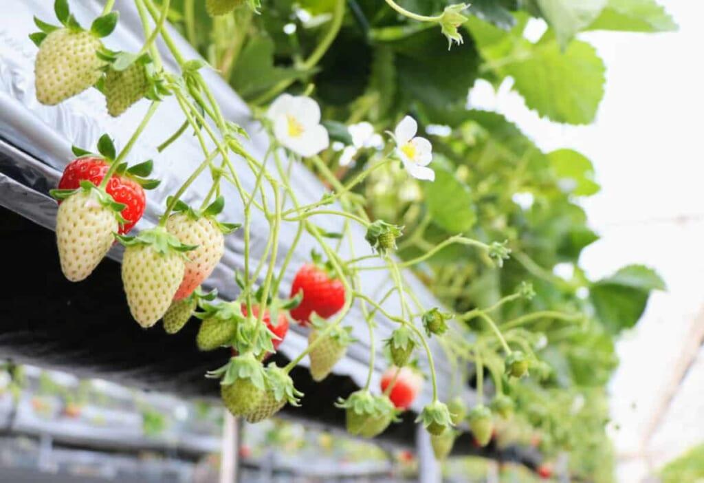 Erdbeeren pflücken auf den Setouchi-Inseln.