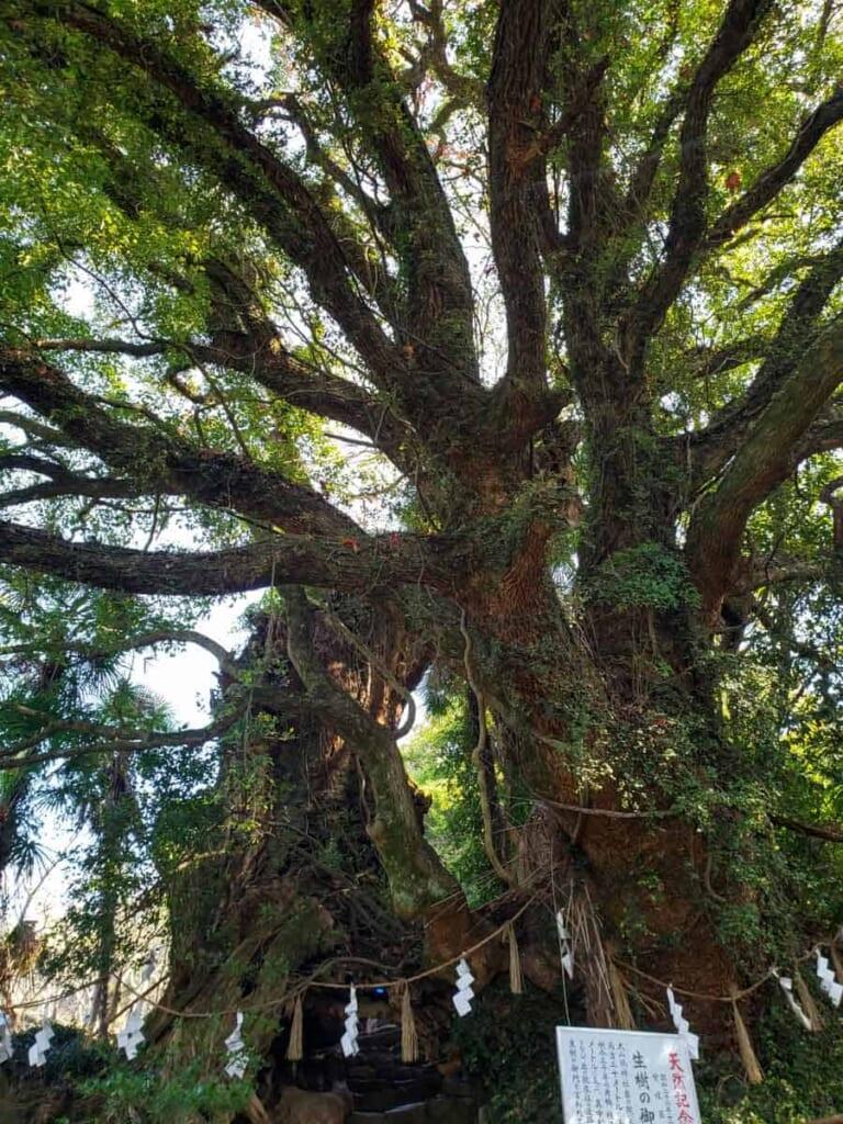Der heilige Baum des Oyamazumi-Schreins.