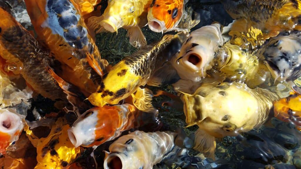 Koi-Karpfen im Umigatari Jōetsu Aquarium.