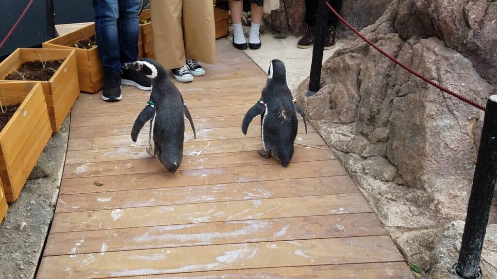 Pinguine im Umigatari Jōetsu Aquarium.