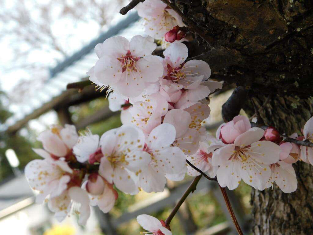 Kirschblüte in Japan: Die besten Orte in Niigata.