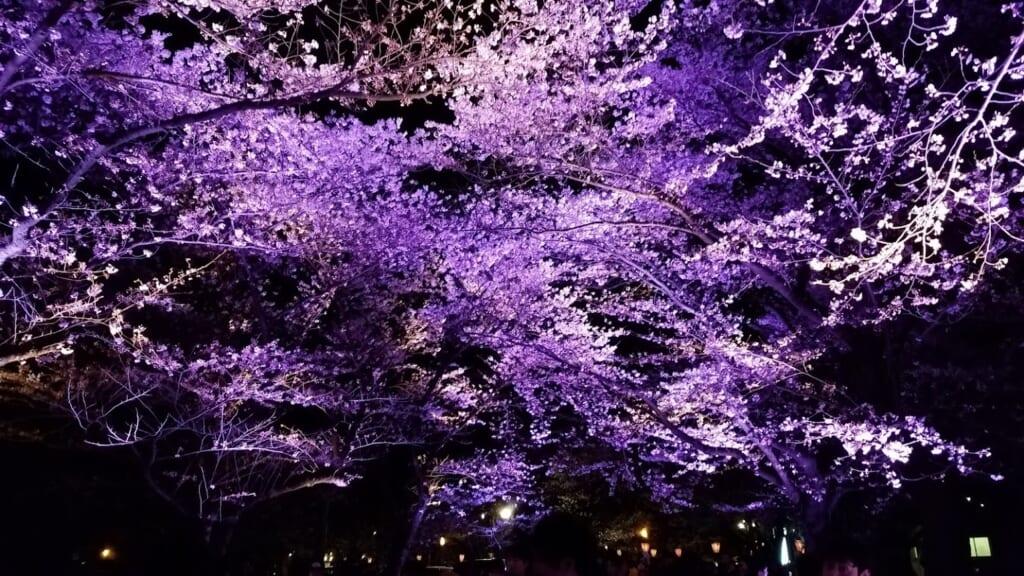 Kirschblüte in Japan: Die beleuchteten Kirschblüten im Takada Burgruinenpark.