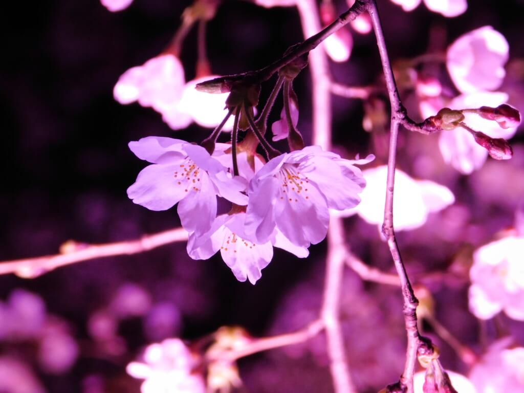 Der Takada-Park gehört zu den 3 besten Orten für die Kirschblüte in Japan bei Nacht.