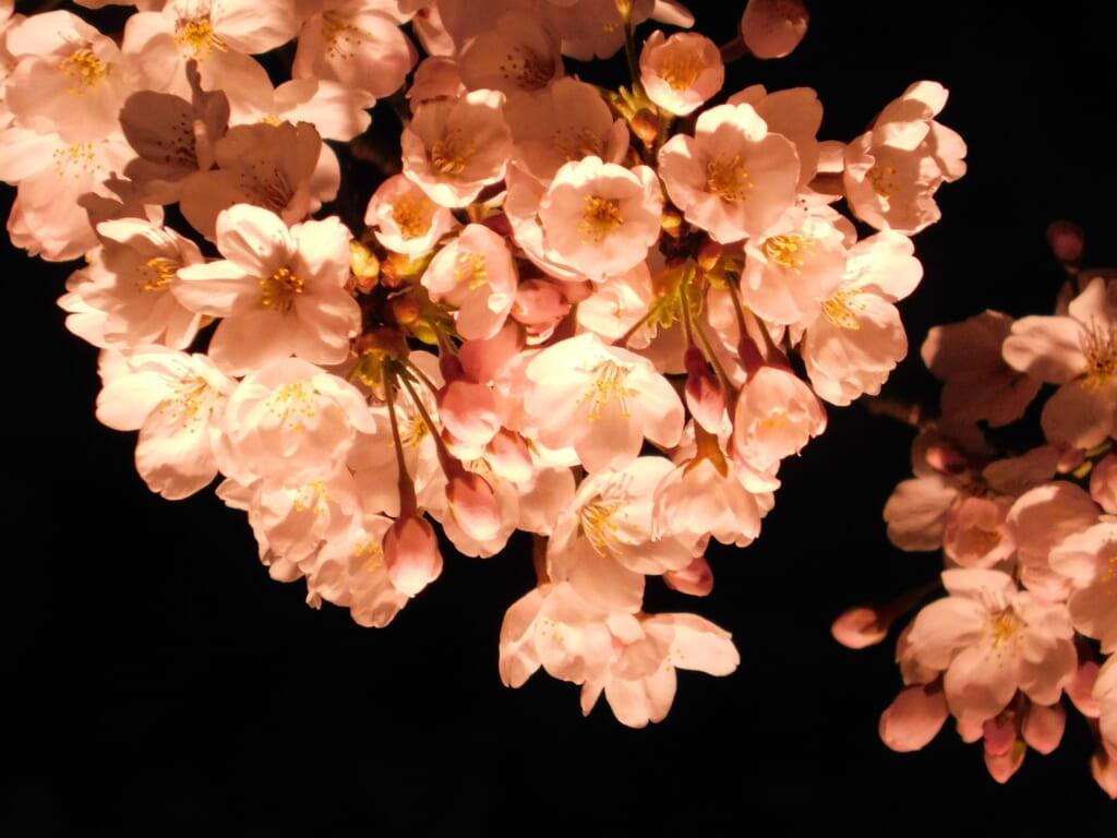 Die Kirschblüten erstrahlen in unterschiedlichen Farben.