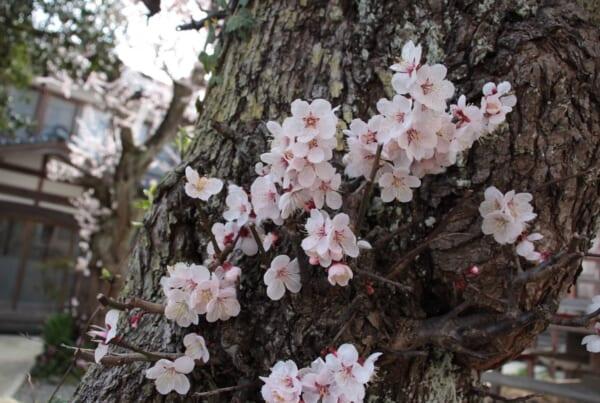 Kirschblüte in Japan: Auf dem Weg zum Yahiko-Schrein.