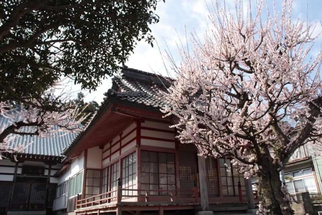 Kirschblüte in Japan: Kirschblüten in der Nachbarschaft des Yahiko-Schreins.