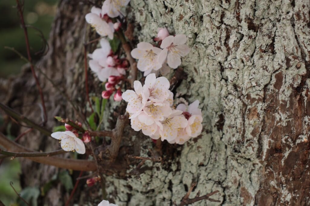 Nahaufnahme der Kirschblüten.