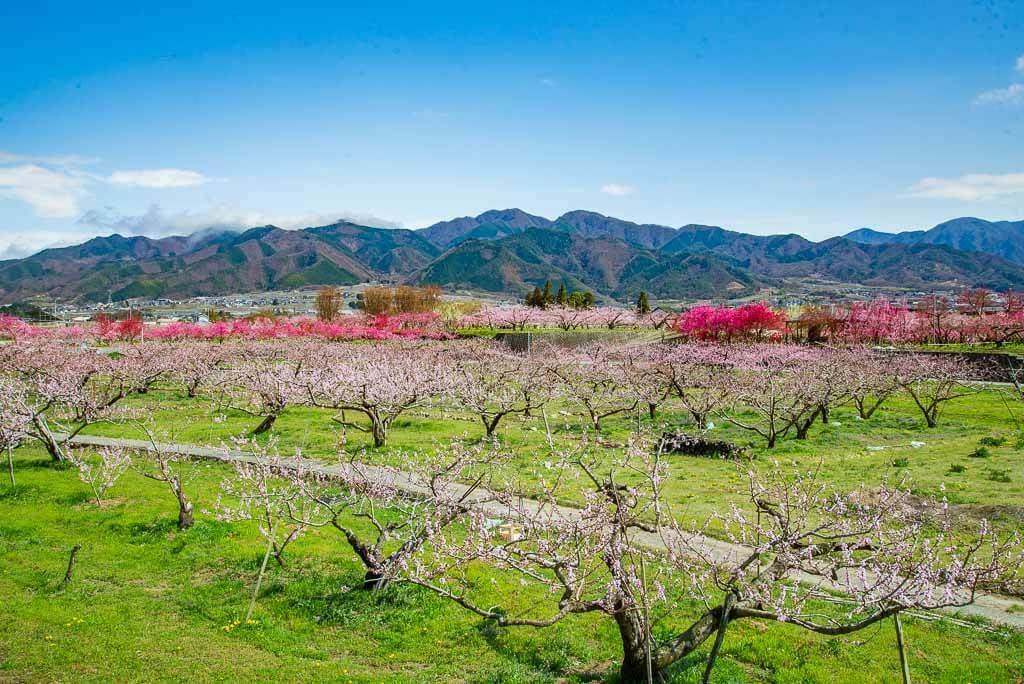 Hügel mit Pfirsichbäumen in in Fuefuki, Japan.