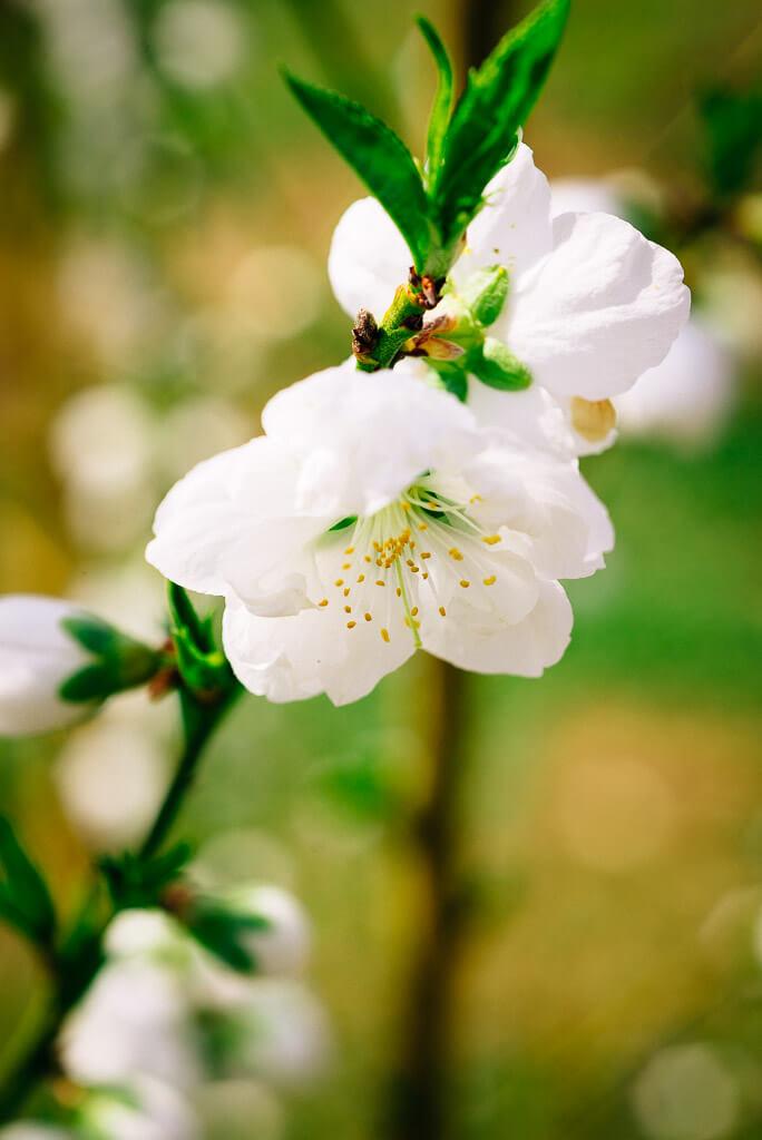 Die Pfirsichblüten sind kräftiger, als die Kirschblüten.