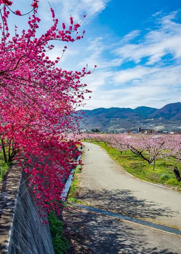 Eine hängende Variante der Pfirsichbäume.