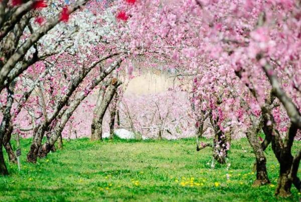 Ein Tunnel aus Pfirschblüten.