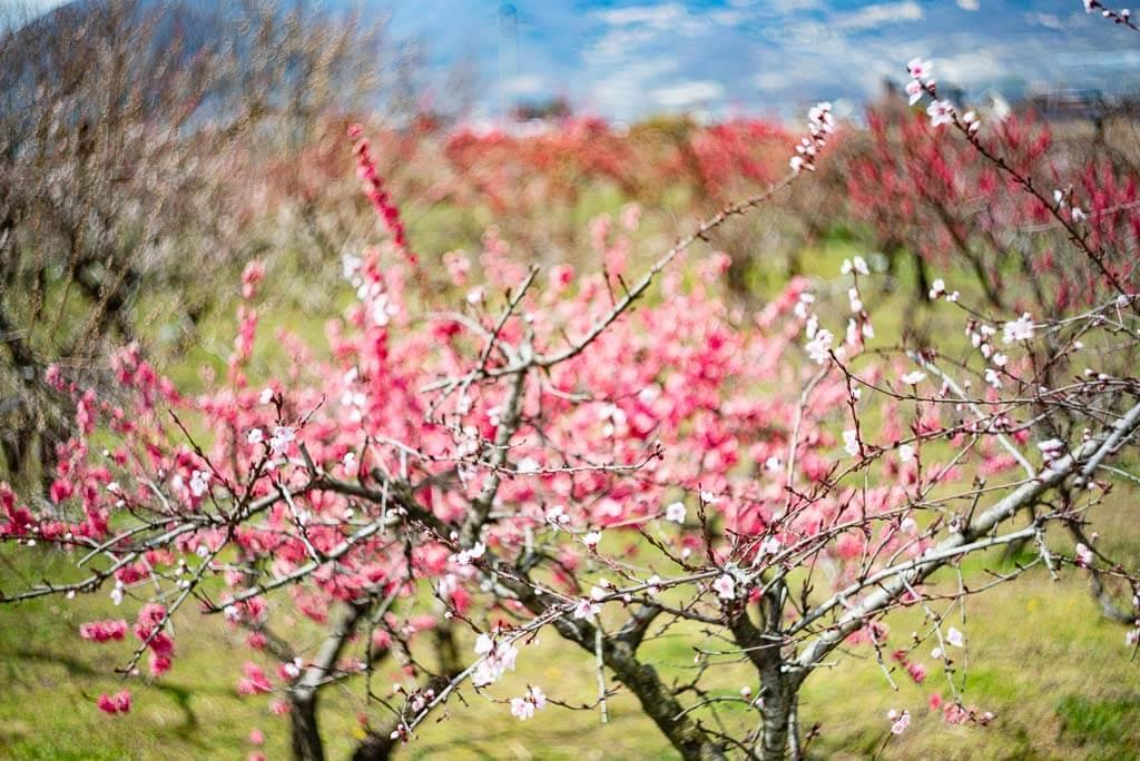 Unterschiedliche Färbungen der Pfirsichblüten.