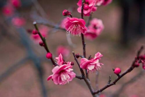 Pinke Ume-Blüte im späten Winter. © Jelleke Vanooteghem