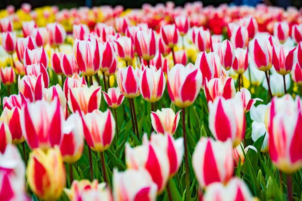 Zahlreiche Tulpen im Flower Park, Präfektur Shizuoka.